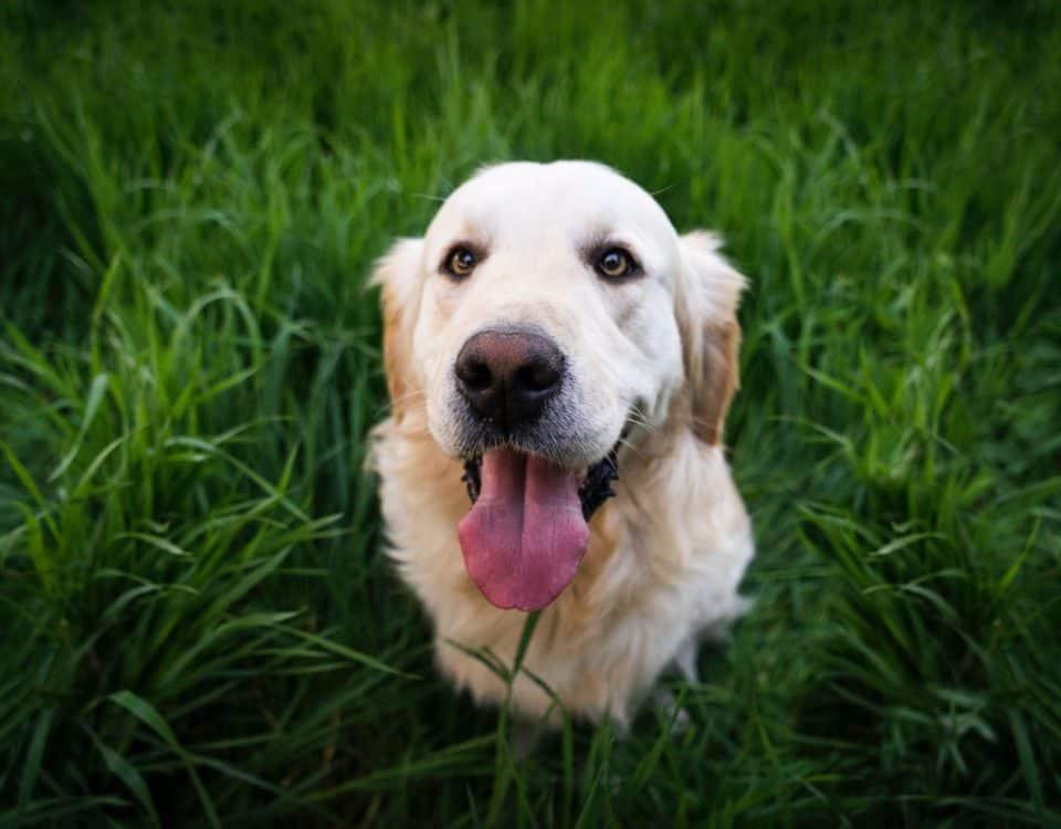 porqué los perros comen hierba